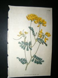 Curtis 1792 Hand Col Botanical Print. Rue-Leaved Coronilla 185